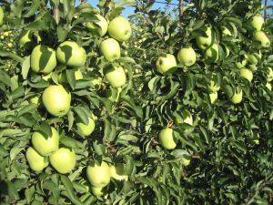 Manzana_Golden_viveros_montero_venta_frutales_plantas_arboles_manzano