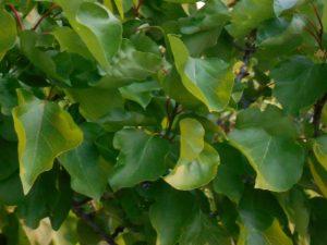 albaricoque-frutales-plantas-vivero-arboles-viveros-montero