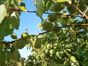 albaricoque-plantas-de-vivero-frutales-arboles-frutales-variedades-viveros-montero
