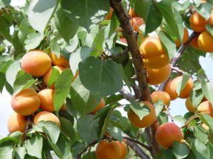 albaricoquero-arboles-plantas-de-albaricoquero-variedades-modernas-vivero-frutales-albaricoquero-frutal
