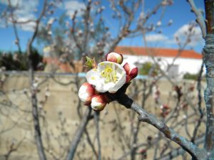 albaricoqueros-plantas-vivero-frutales-viveros-montero-flores-albaricoquero