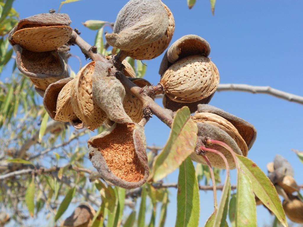 Viveros montero almendros arboles frutales viveros for Viveros de arboles frutales en chihuahua
