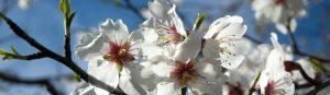 almendro-vivero-floracion-plantas-de-almendro-viveros-montero