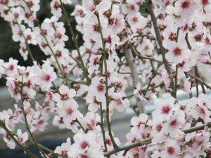 almendros-arboles-vivero-planta-vivero-de-almendros-viveros-montero