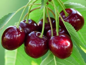 cereza-arboles-frutales-viveros-plantas-de-cerezo-arbol-frutal-cerezo-viveros-montero