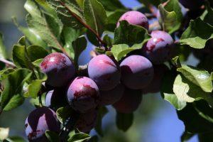 ciruelas-frutales-ciruelos-plantas-de-ciruelos-ciruelo-viveros-montero-vivero