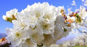 flores-cerezo-frutales-plantas-frutales-vivero-viveros-montero-arboles