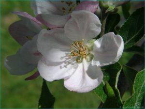 fotos_de_flores_de_manzano_viveros_montero_plantas_frutales_arboles_manzanos