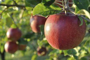 frutos_de_hoja_caduca_manzana_viveros_montero_frutales_planta_manzano