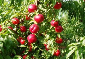 nectarina-arbol-frutales-vivero-viveros-montero-nectarina-floracion-planta