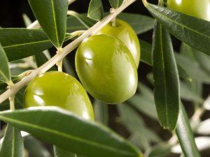 olivos-oliveras-plantas-de-olivos-vivero-de-olivos-viveros-montero