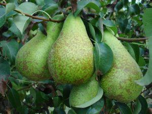 pera-perales-arboles-perales-frutales-viveros-planta-de-vivero-viveros-montero