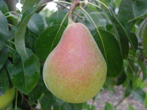 perales-arboles-perales-frutales-viveros-montero-planta-de-vivero
