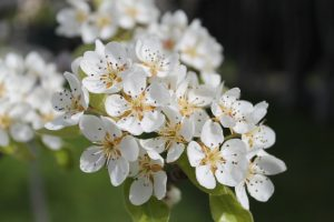 perales-floracion-plantas-viveros-montero-vivero-perales