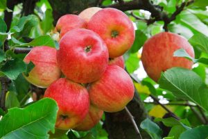 plantas-frutales-variedades-manzano-viveros-montero-vivero-manzana