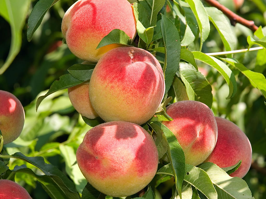Viveros montero almendros arboles frutales viveros for Viveros arboles frutales